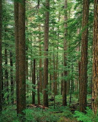Pine_forest.jpg