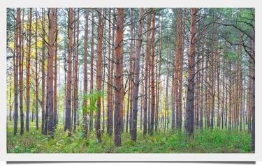 Southern_White_Pine_01-1.jpg