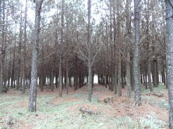 DI 8 yr old pine thinning.jpg
