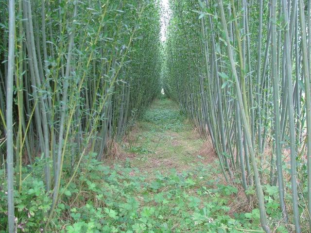 Willow_Biomass.jpg