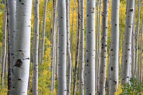aspen-trees-in-the-fall-1337456.jpg