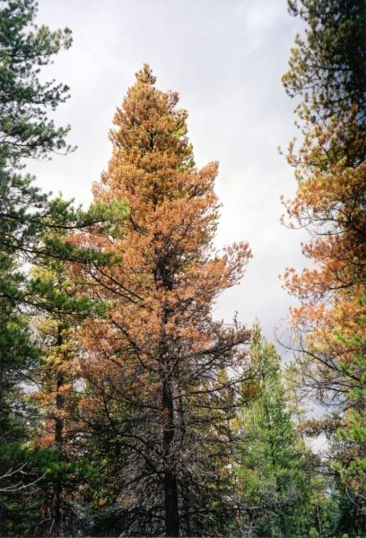 timber_damaged_mountain_pine_beetle_2.jpg