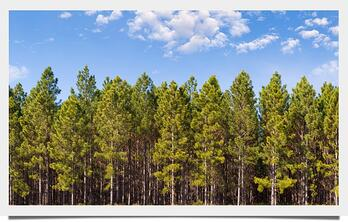 Pine_Forest