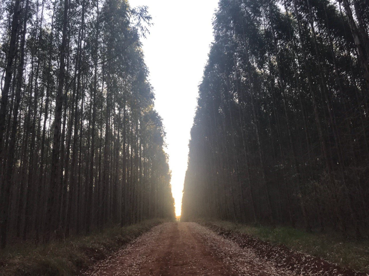 The Advantages of Genetic Improvements for Pine and Eucalyptus Plantations